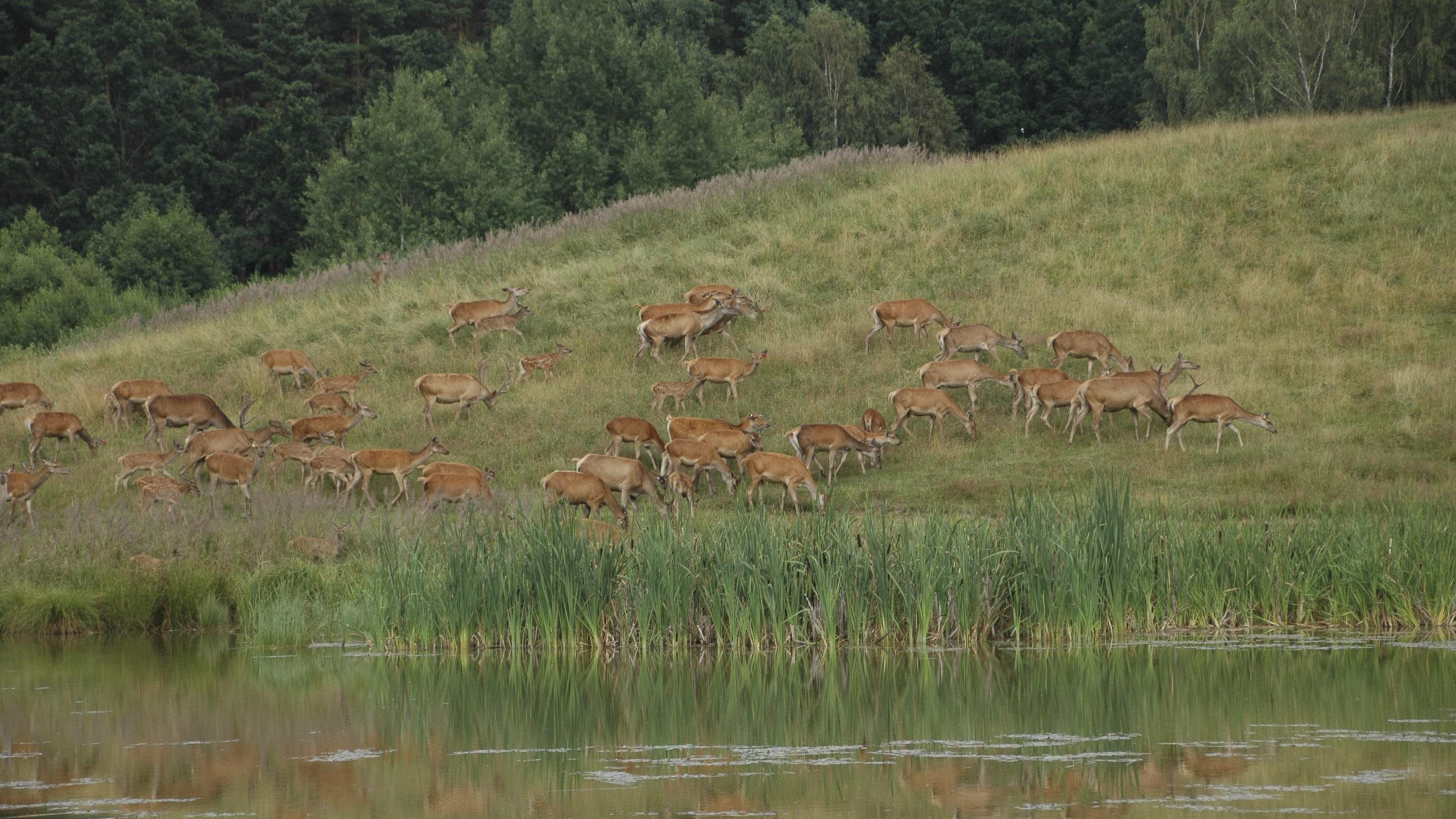 jeleniowate w terenie