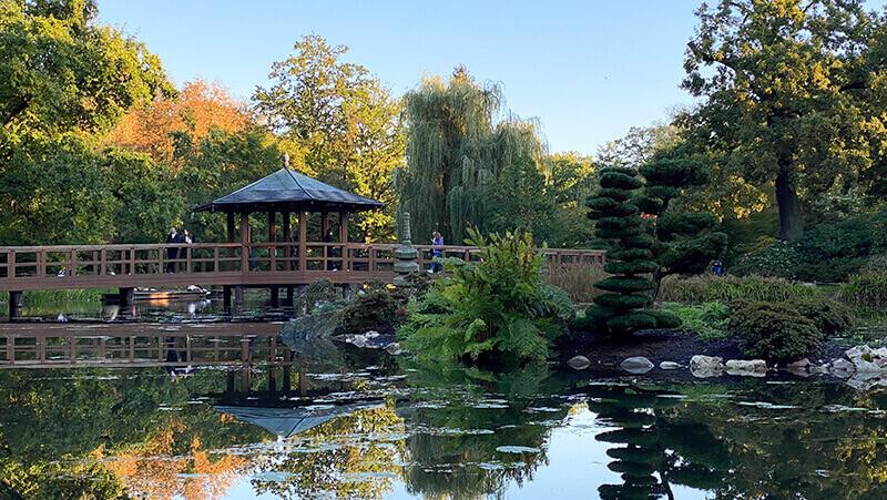 Staw z karpiami Koi w Ogrodzie Japońskim we Wocławiu